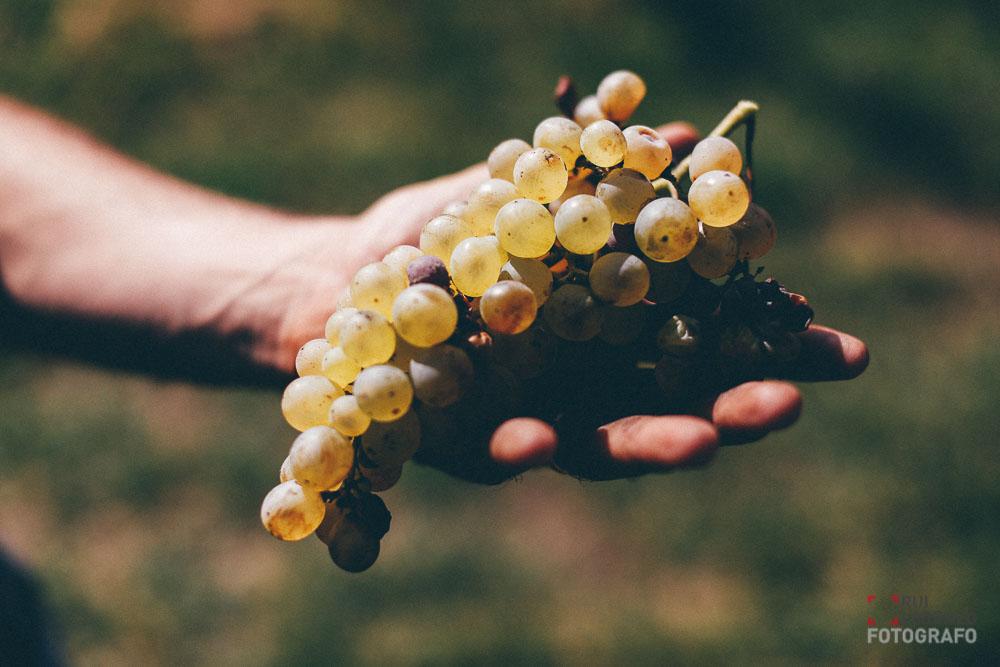 110-vendemmia-naturale-vino-uva-gambellara-maule-sauro-fotografo-rui-_N4B6990_web