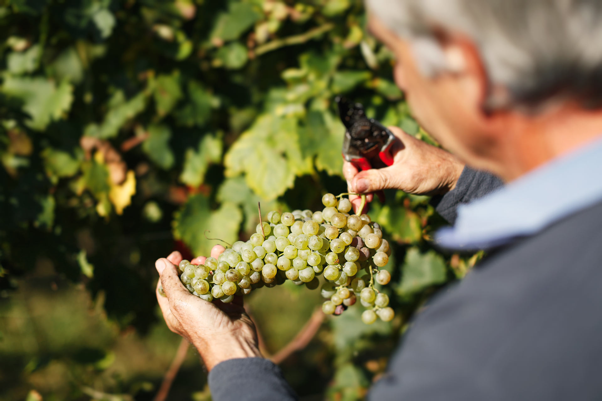 sauro-maule-grapes-harvest_N4B6552_web