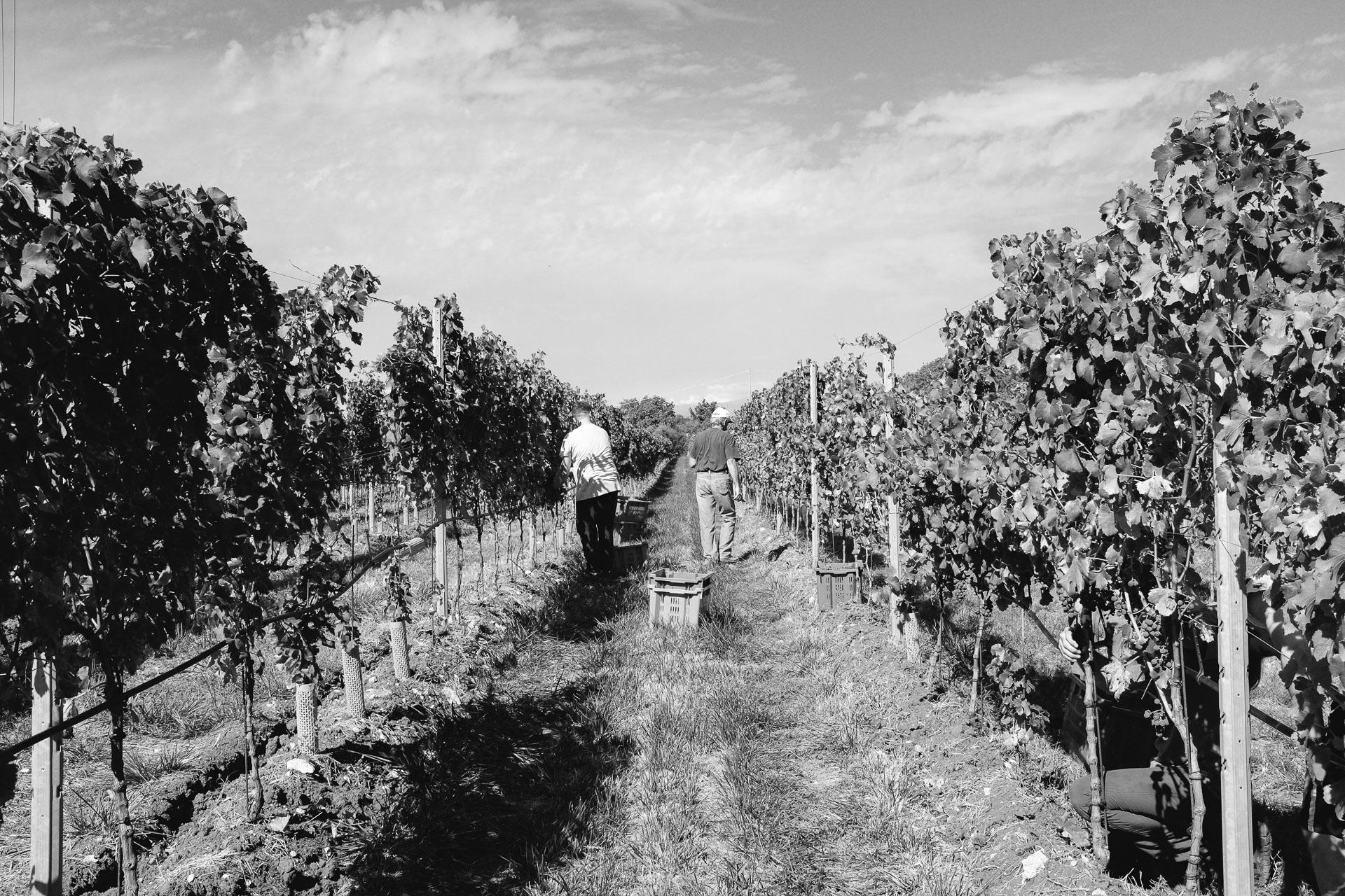 001-Sauro-maule-wineyards-organic-harvest-2016-_RUI2139_p_Lr_web_HD