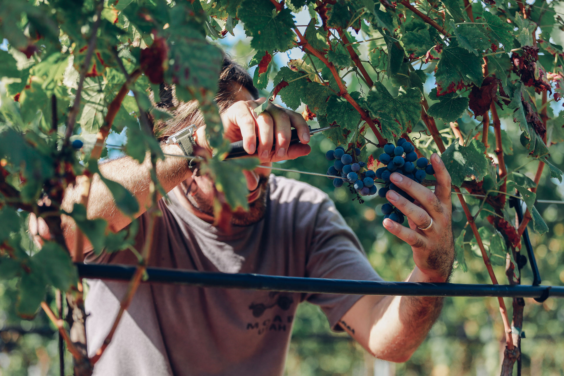 002-Sauro-maule-wineyards-organic-harvest-2016-_RUI7291_p_Lr_web_HD