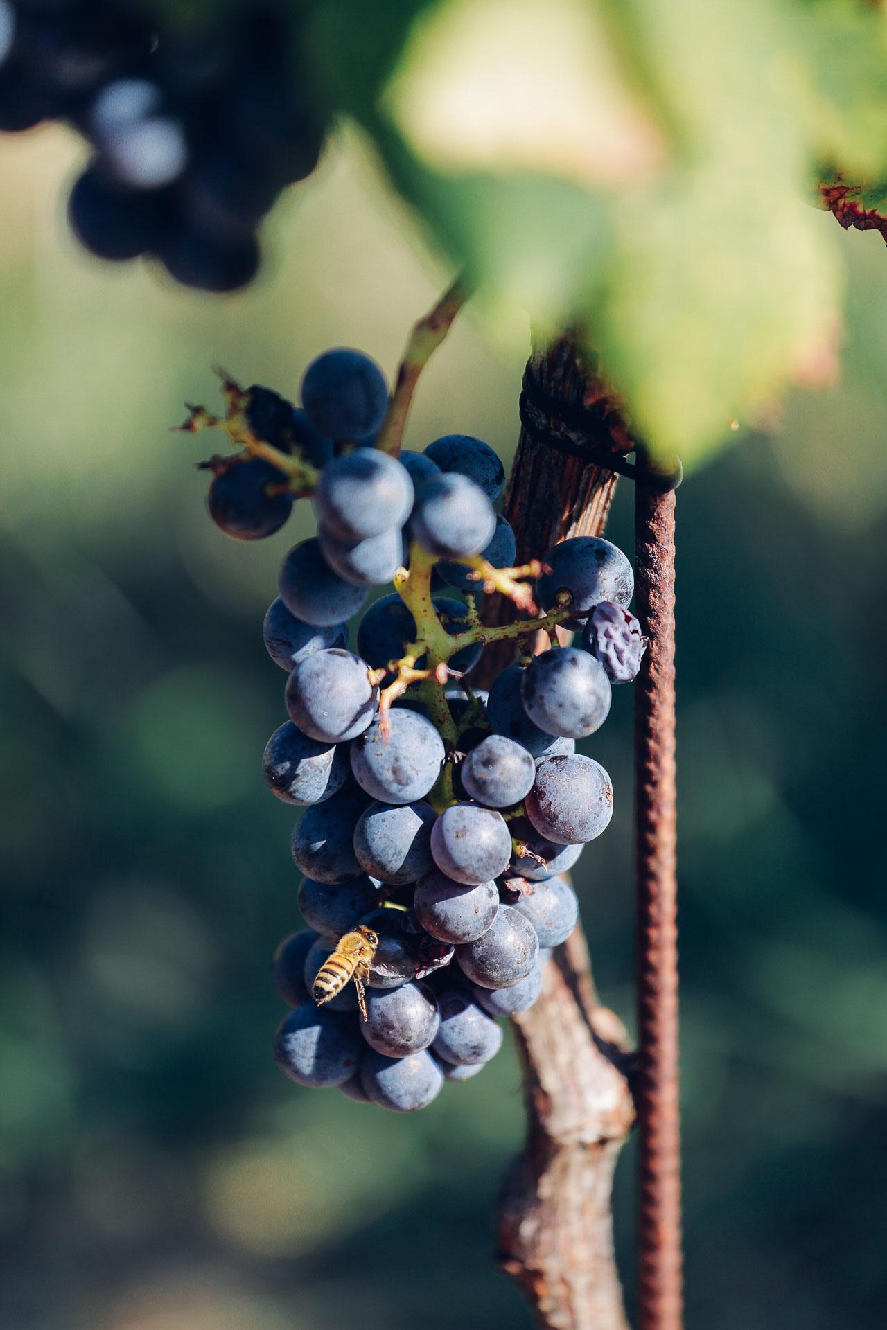 009-Sauro-maule-wineyards-organic-harvest-2016-_RUI7267_p_Lr_web_HD