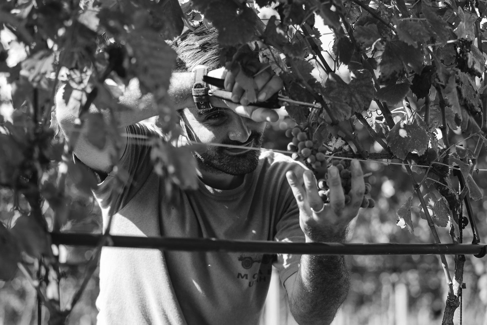 010-Sauro-maule-wineyards-organic-harvest-2016-_RUI7292_p_Lr_web_HD