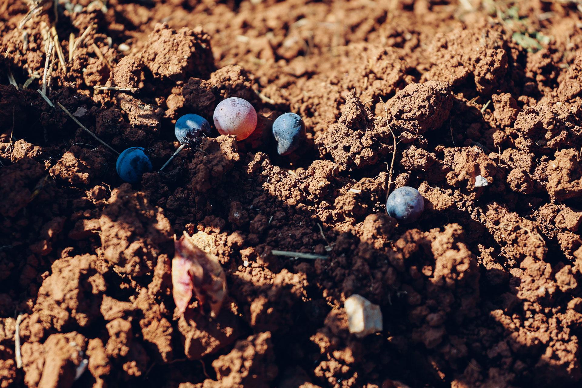 012-Sauro-maule-wineyards-organic-harvest-2016-_RUI7211_p_Lr_web_HD
