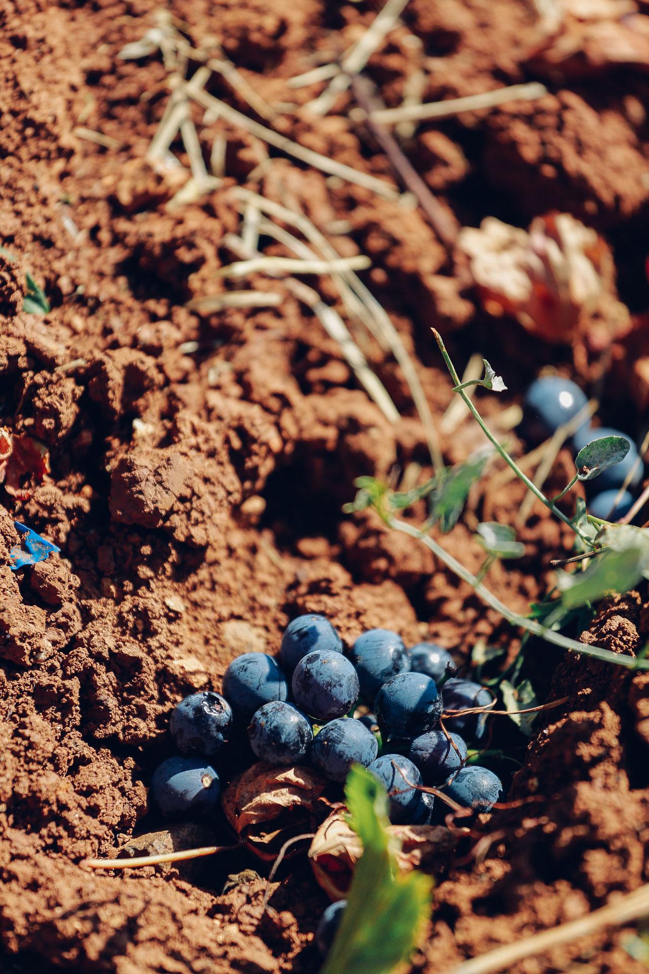 015-Sauro-maule-wineyards-organic-harvest-2016-_RUI7223_p_Lr_web_HD