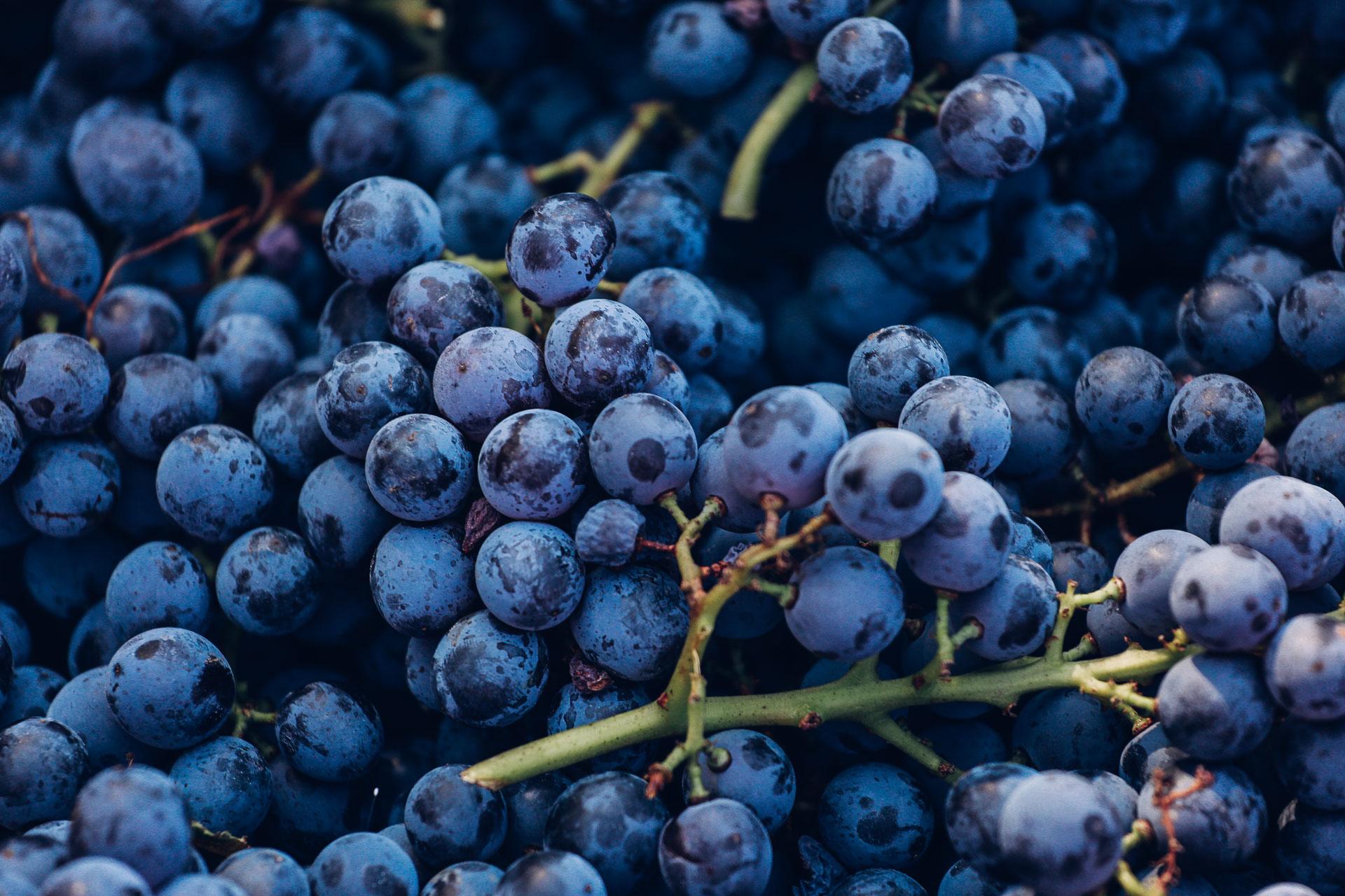 021-Sauro-maule-wineyards-organic-harvest-2016-_RUI7317_p_Lr_web_HD