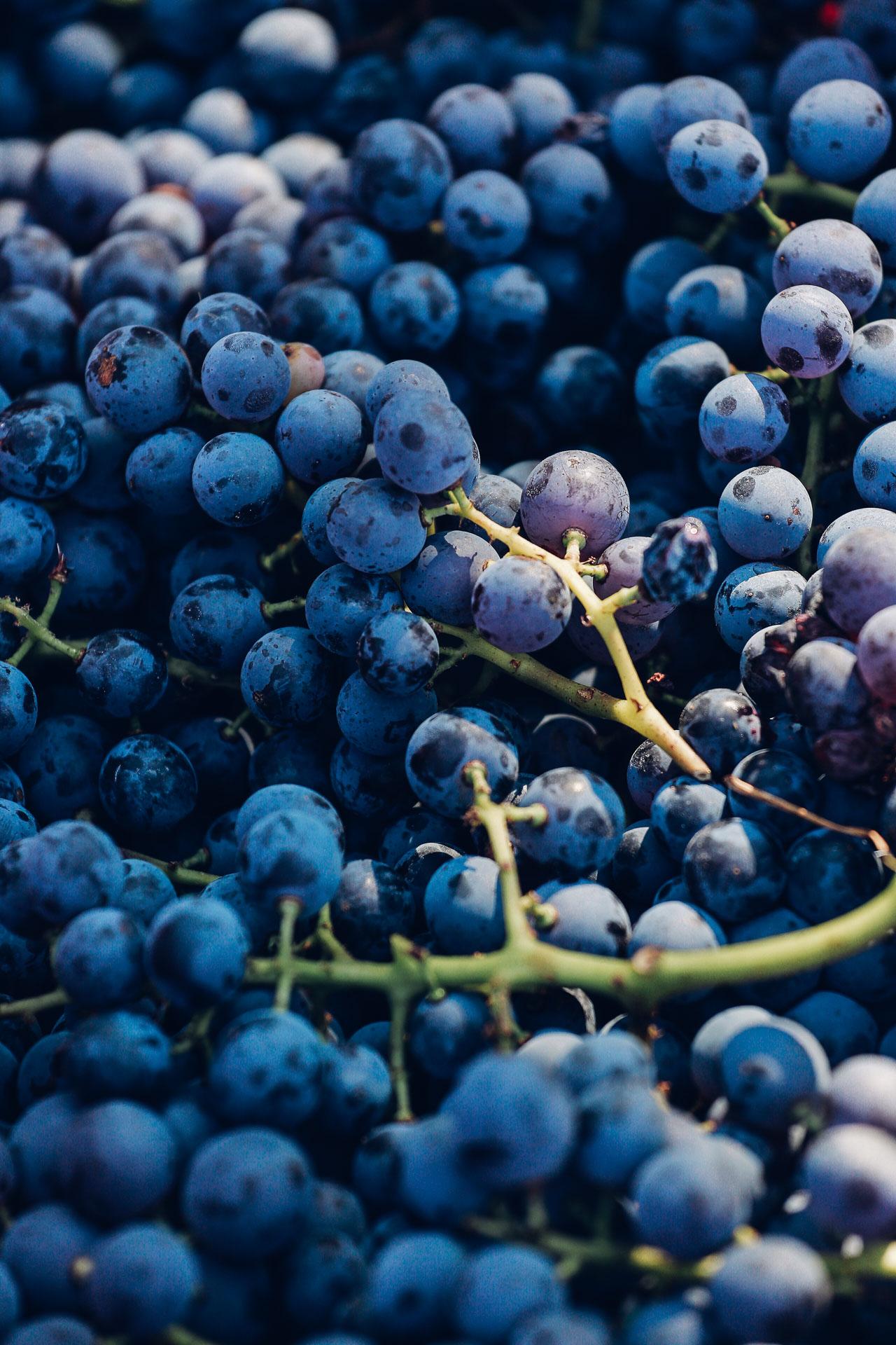 023-Sauro-maule-wineyards-organic-harvest-2016-_RUI7319_p_Lr_web_HD