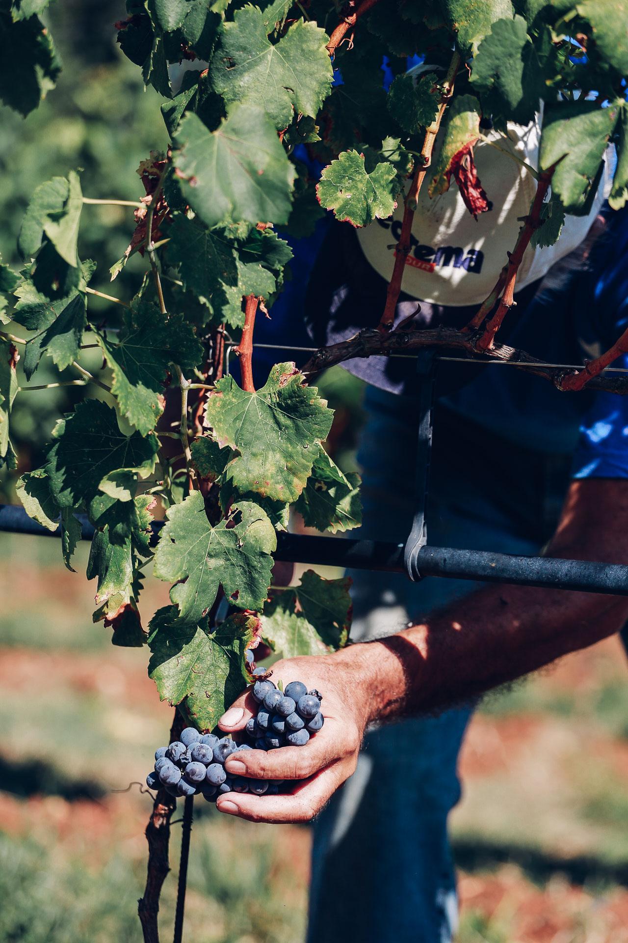 032-Sauro-maule-wineyards-organic-harvest-2016-_RUI7353_p_Lr_web_HD