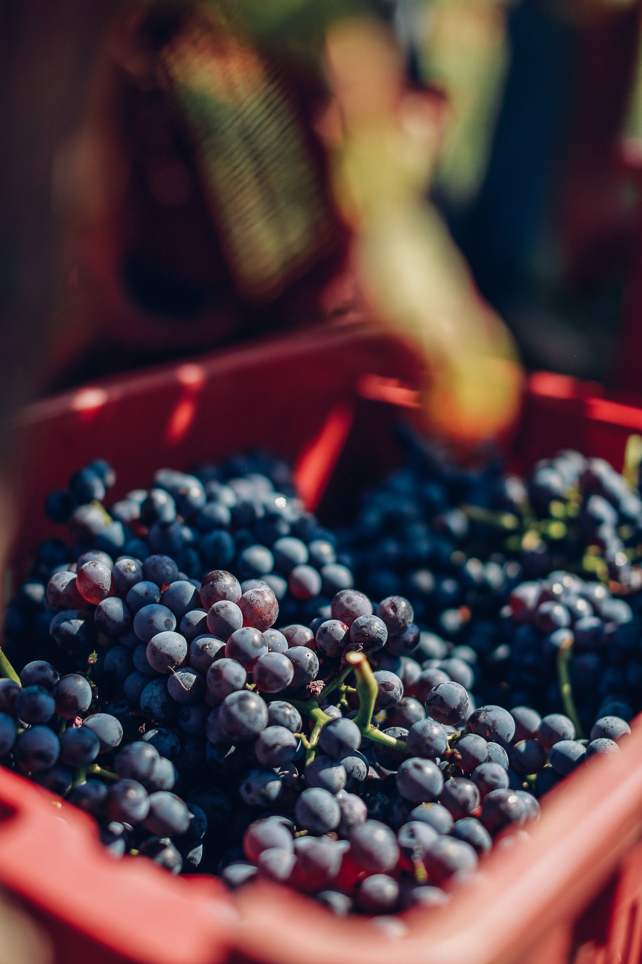 037-Sauro-maule-wineyards-organic-harvest-2016-_RUI7432_p_Lr_web_HD