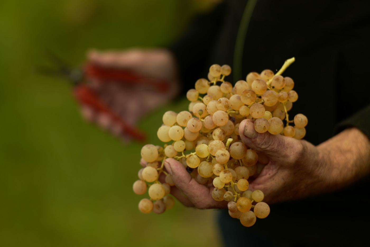 Sauro-Maule-harvest-vintage_L1090518_2_1400