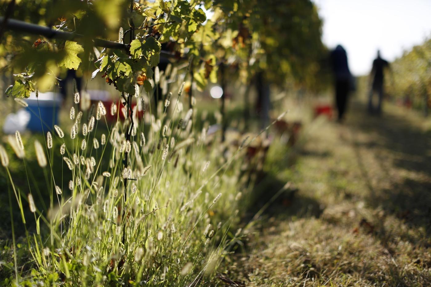 Sauro-Maule-sustainability-wineyard_N4B6603_1400