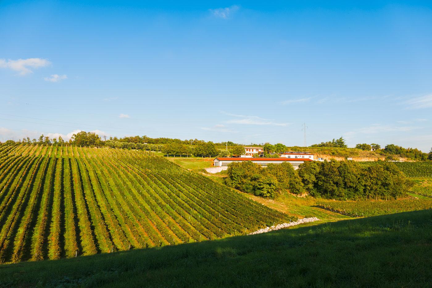 Svinamento-naturale-vino-uva-merlot-maule-sauro-fotografo-rui-L1120299_p_Lr_web