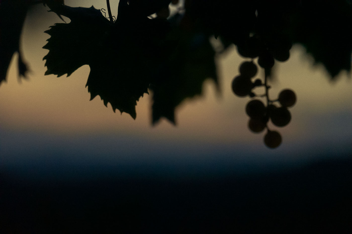 vendemmia-naturale-vino-uva-gambellara-garganega-maule-sauro-fotografo-rui-L1390208_p_Lr_web