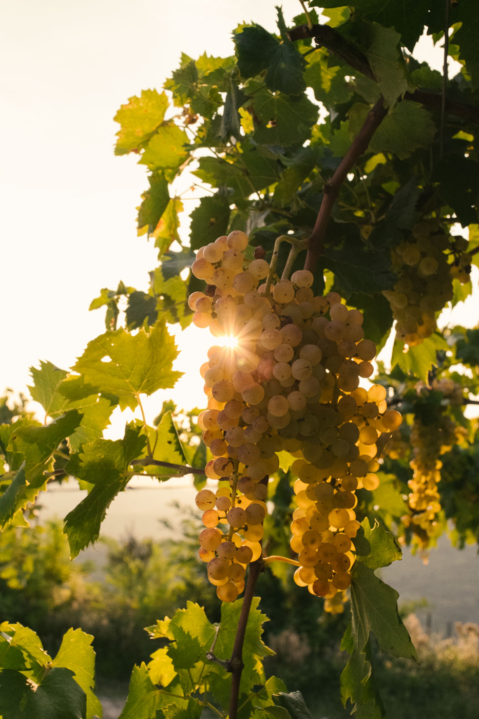 vendemmia-naturale-vino-uva-gambellara-garganega-maule-sauro-fotografo-rui-_RUI2734_p_Lr_web