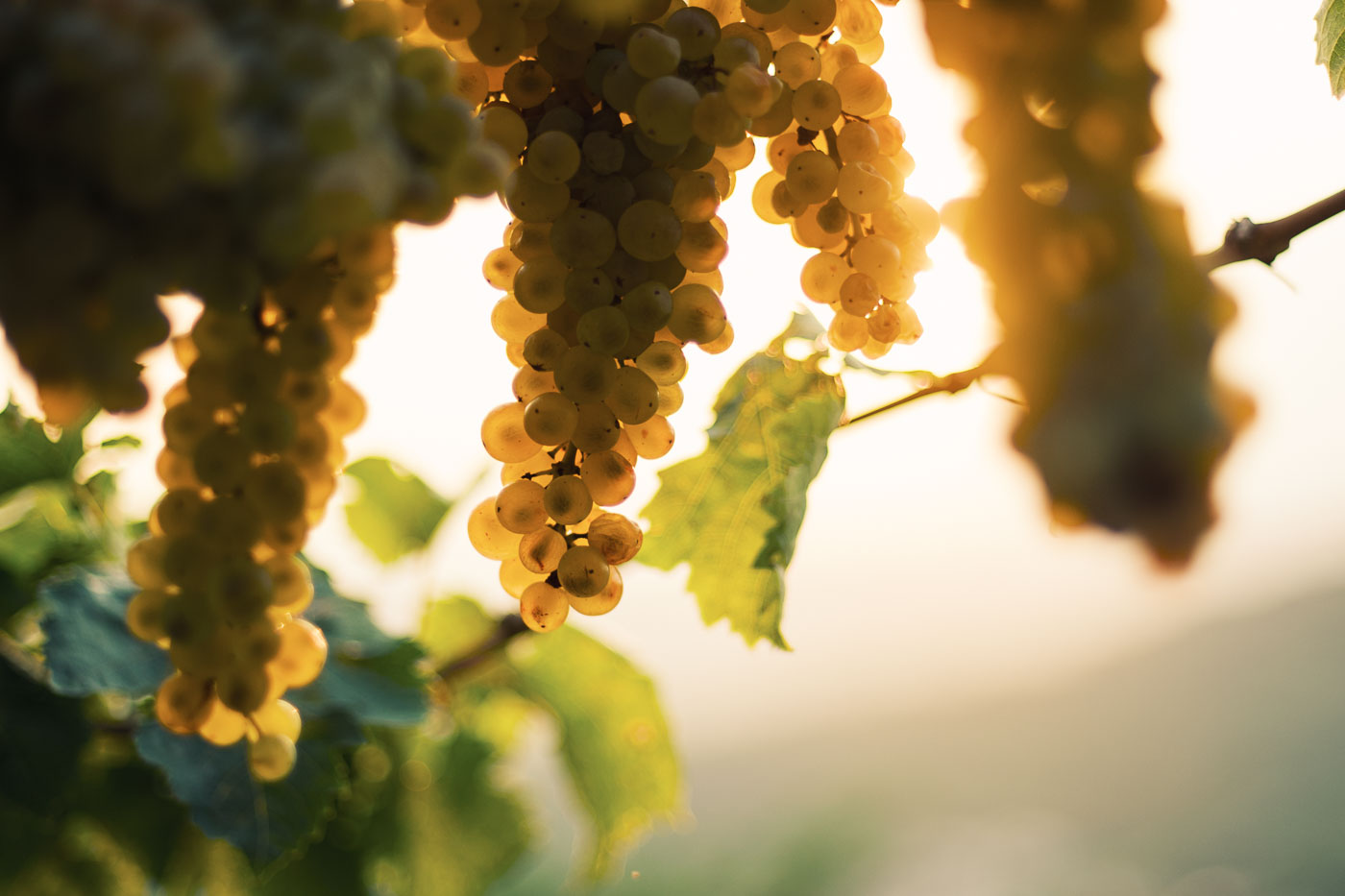 vendemmia-naturale-vino-uva-gambellara-garganega-maule-sauro-fotografo-rui-_RUI2796_p_Lr_web