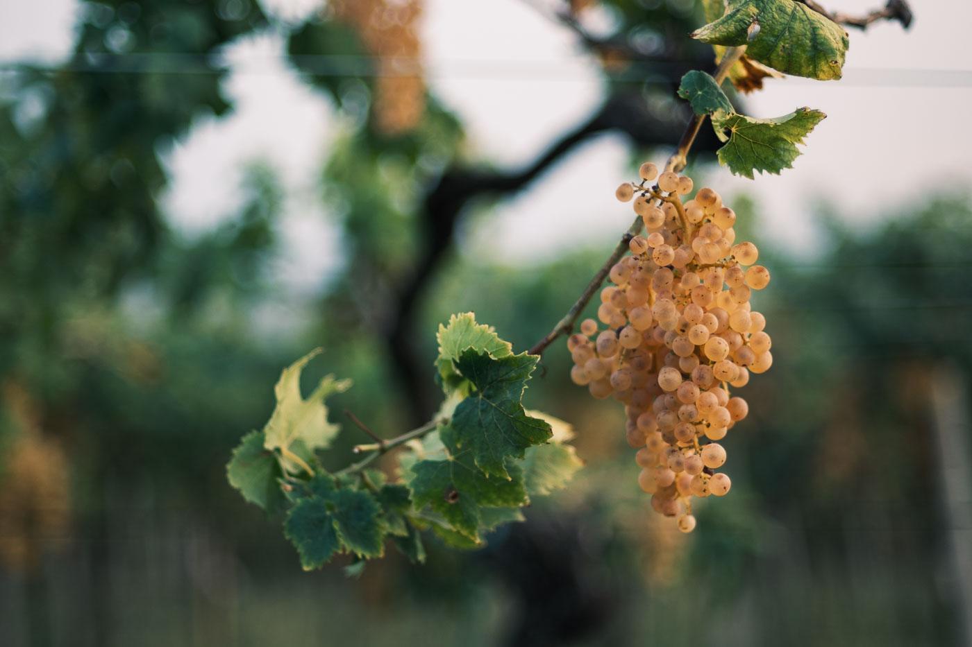 vendemmia-naturale-vino-uva-gambellara-garganega-maule-sauro-fotografo-rui-_RUI2886_p_Lr_web