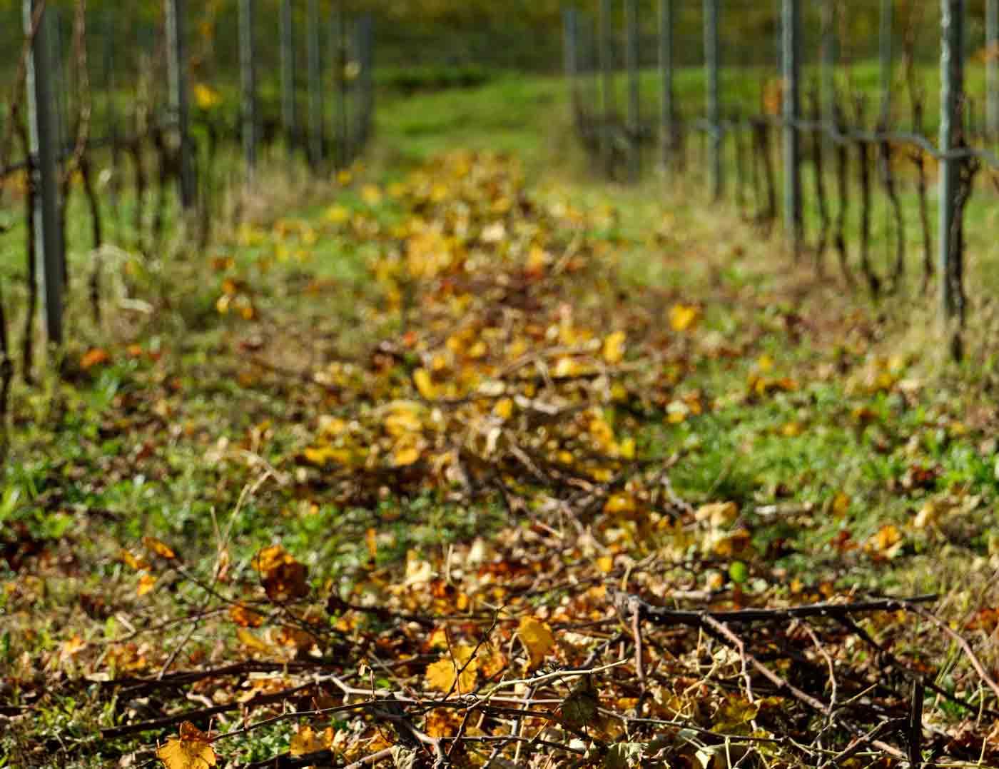 Sauro-Maule-vigna-autunno-L1150957_web
