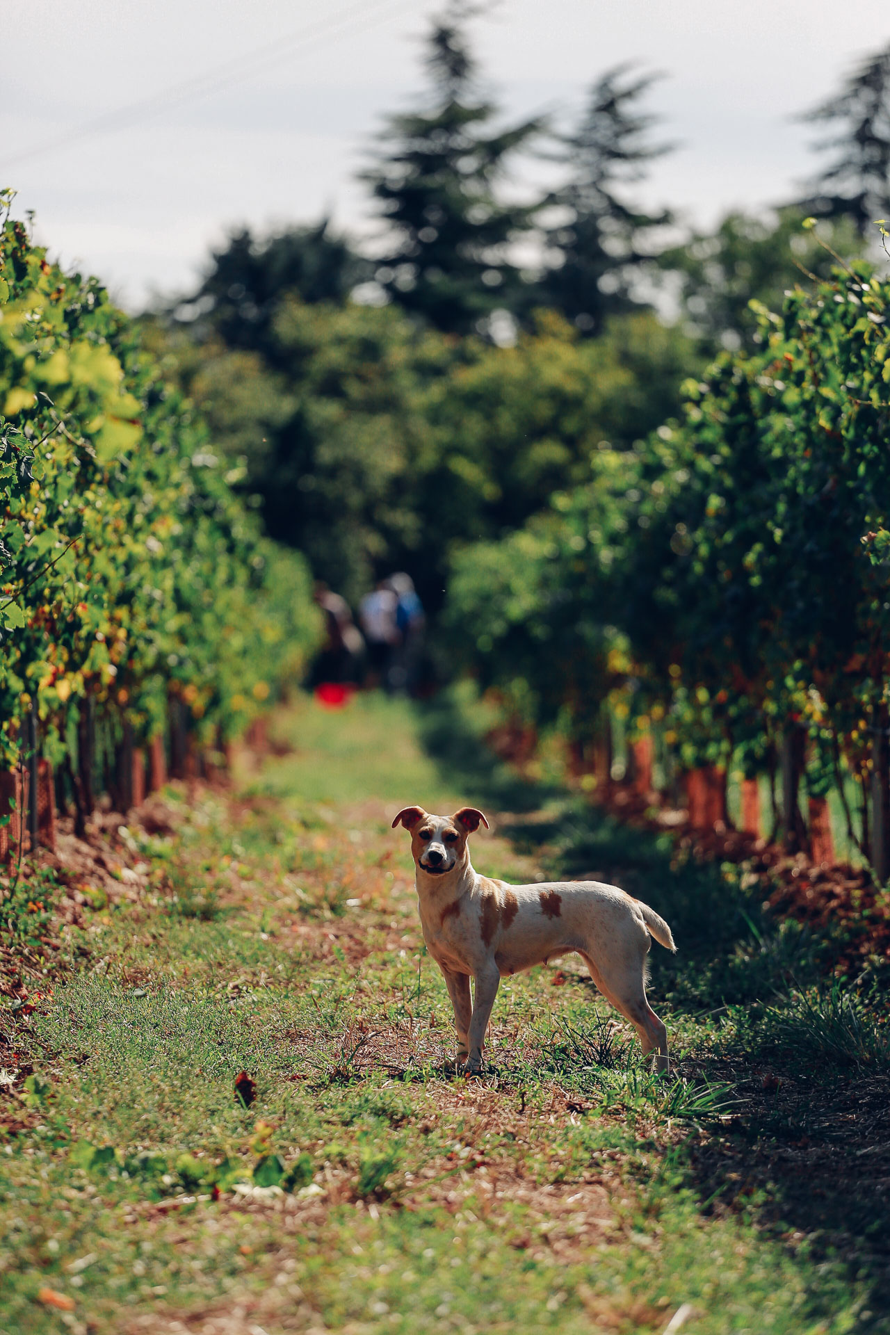 005-Sauro-maule-wineyards-organic-harvest-2016-_RUI7218_p_Lr_web_HD