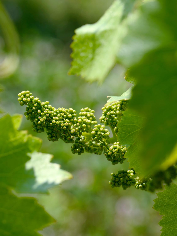 Sauro-Maule-wineyards_L1530251_p_web