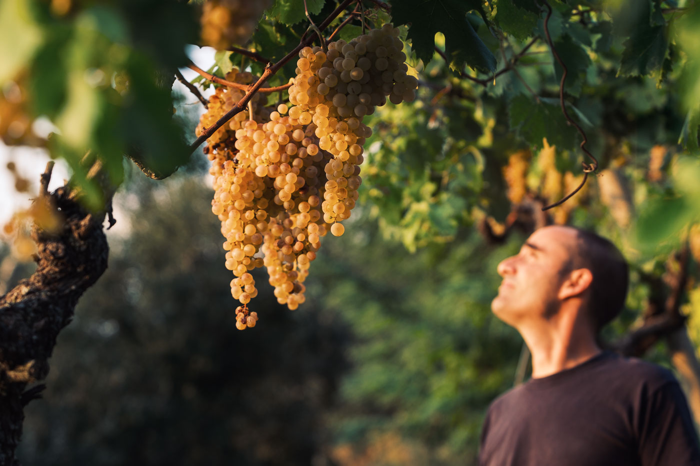 vendemmia-naturale-vino-uva-gambellara-garganega-maule-sauro-fotografo-rui-_RUI2775_p_Lr_web